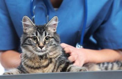 Когда стерилизовать кошку