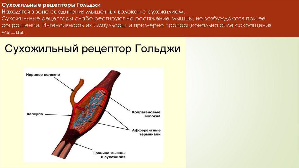 Мышечное чувство википедия