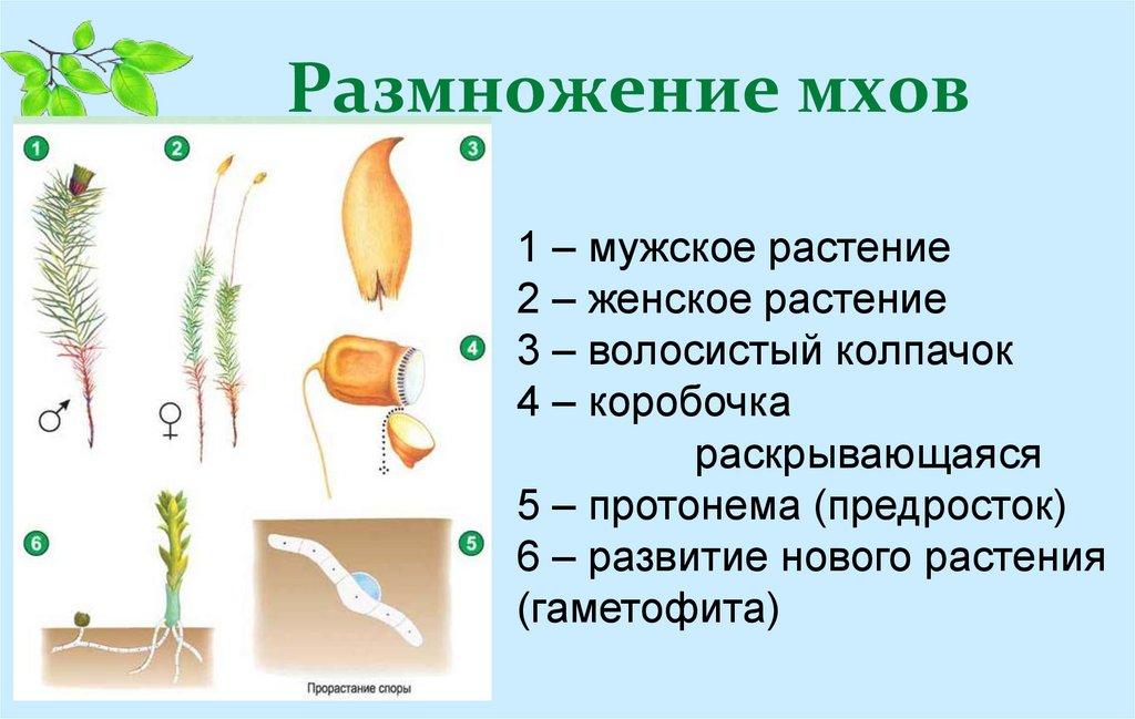 Характеристика и классификация моховидных, размножение и значение мхов