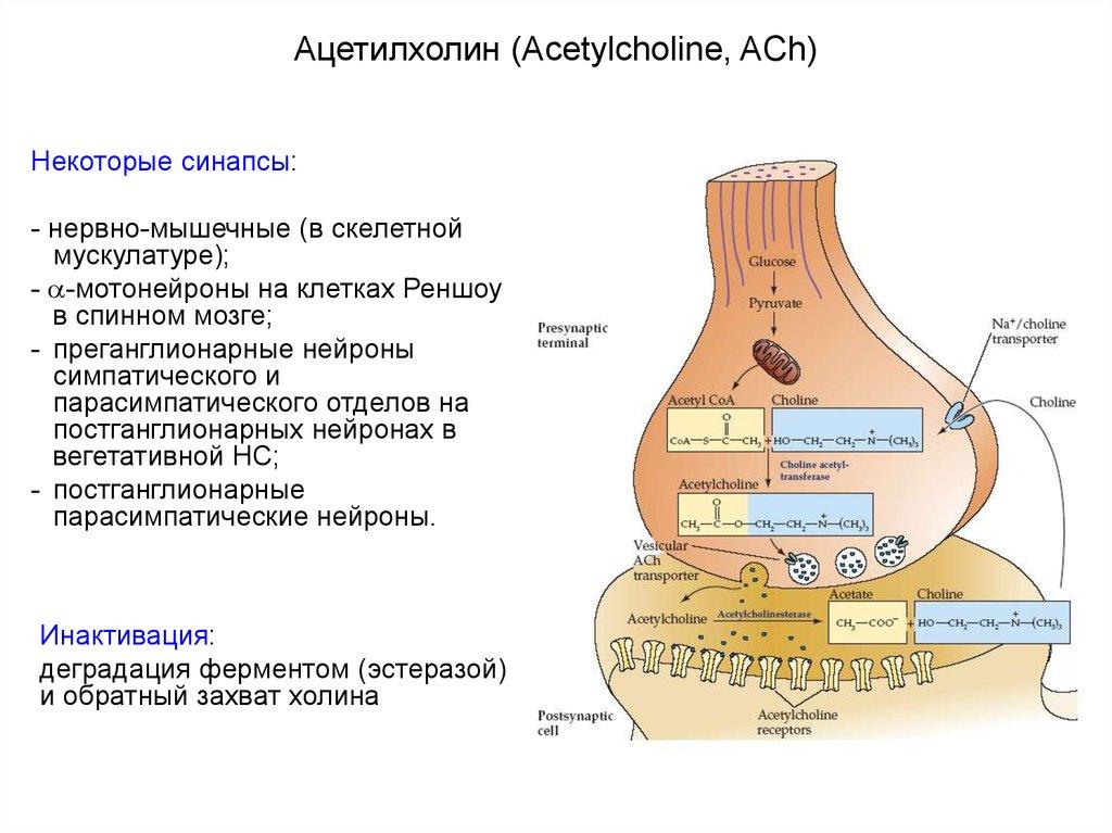 Ацетилхолин и его функции — sportwiki энциклопедия