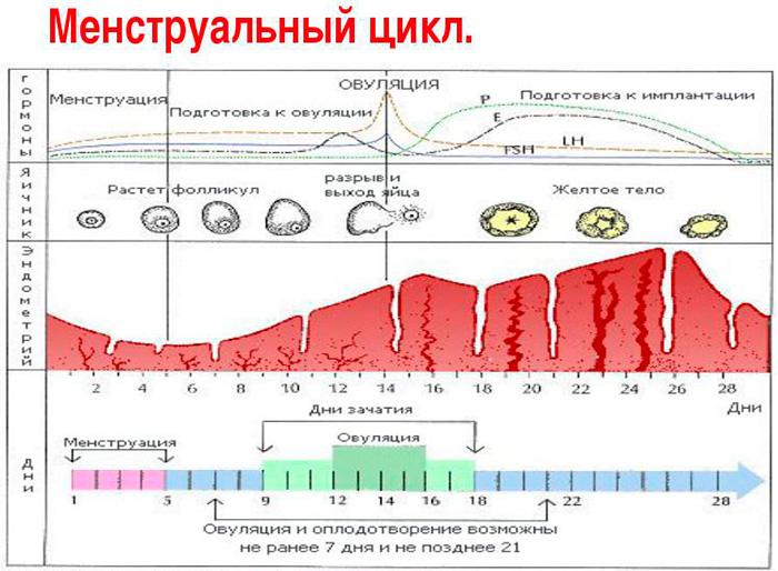 Как считать цикл месячных правильно и с какого дня: описание с примером