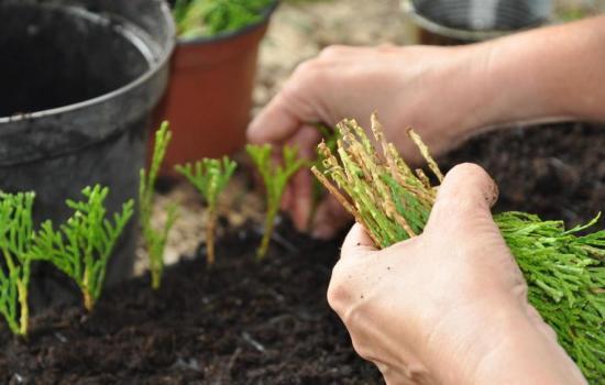Размножение черенками растения - что это такое, как правильно черенковать?