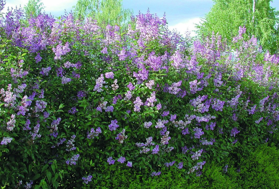 Сирень: основные особенности и правила выращивания