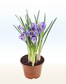 Самые популярные клубневые растения: посадка и уход за ними