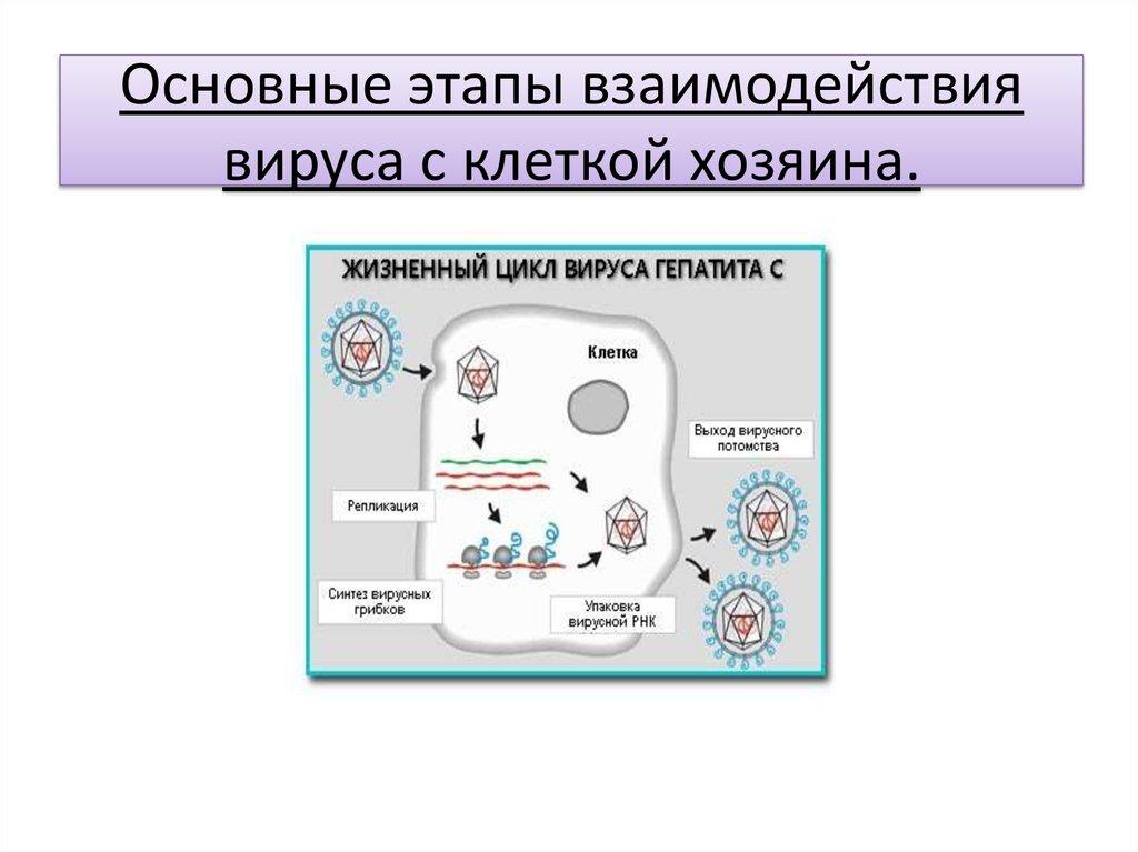Что такое жизненный цикл клетки в биологии. жизненный цикл клетки
