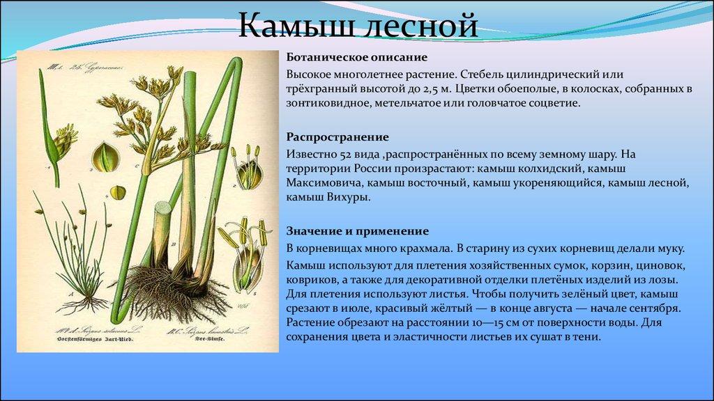 Камыш (фото растения) - секреты, советы, рекомендации.