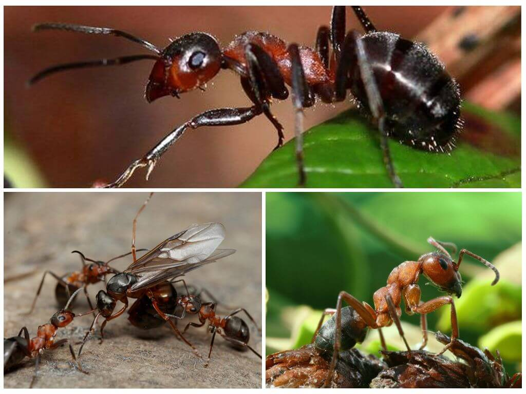 Кто такие «адские муравьи» и почему они так странно выглядят? - hi-news.ru