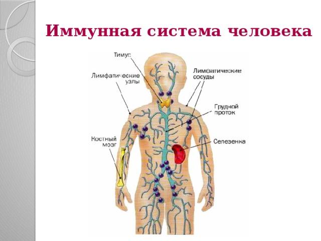 Описание и принцип работы иммунной системы человека