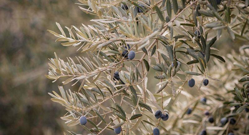 Консервированные маслины: польза и вред для организма, свойства, калорийность