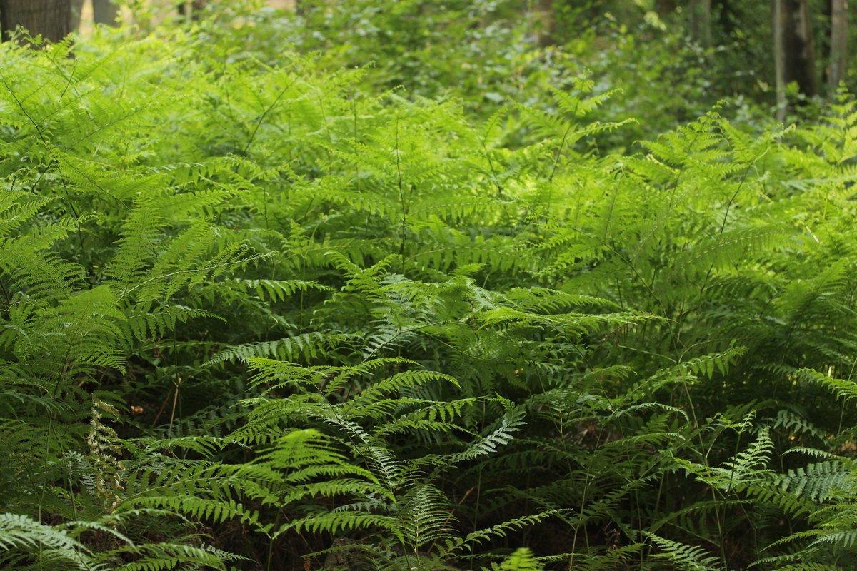 Съедобный папоротник орляк — как выглядит и где растет