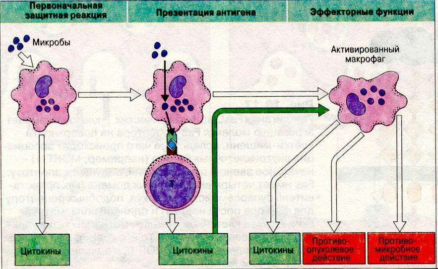 Макрофаги: что это такое, и какова их роль в иммунной защите организма