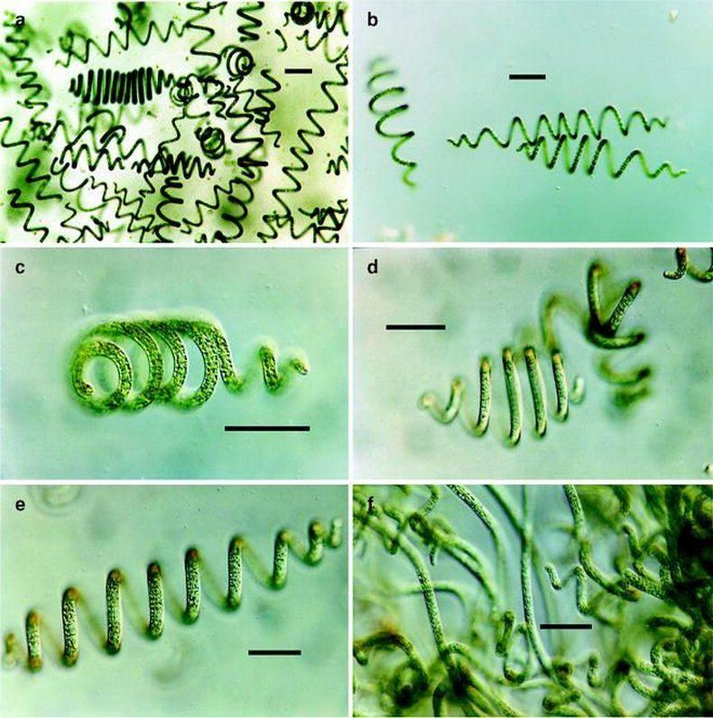 Полезные свойства и противопоказания водоросли спирулины
