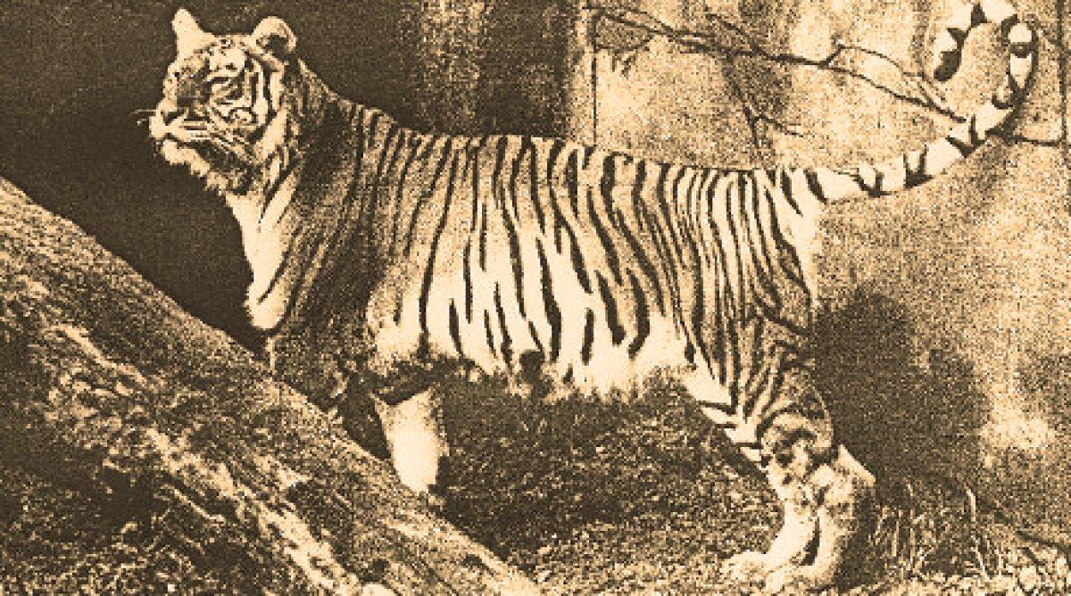 Тигра — википедия. что такое тигра