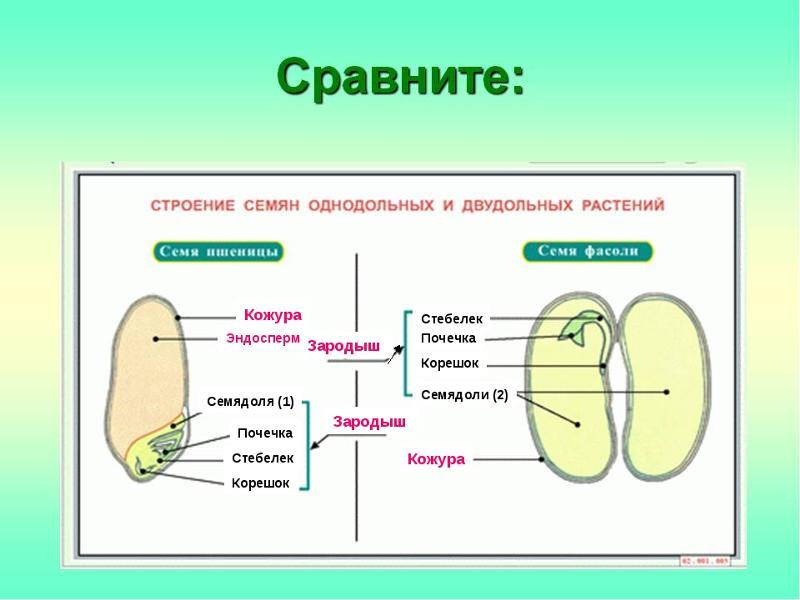 Эндосперм - большая советская энциклопедия - словари и энциклопедии