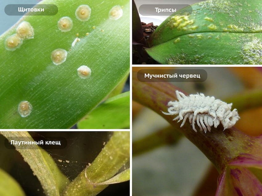 Вредители растений — трипсы, фото и борьба с ними