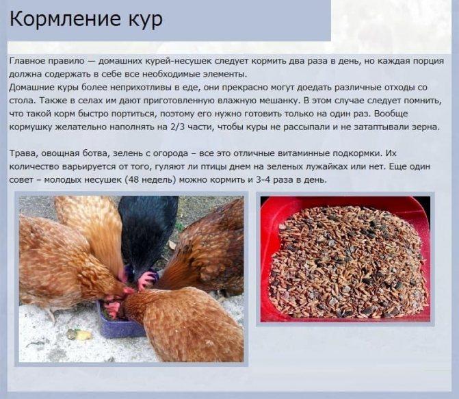 Что такое курица? описание, классификация, содержание и питание | новости для умных - news4smart.ru