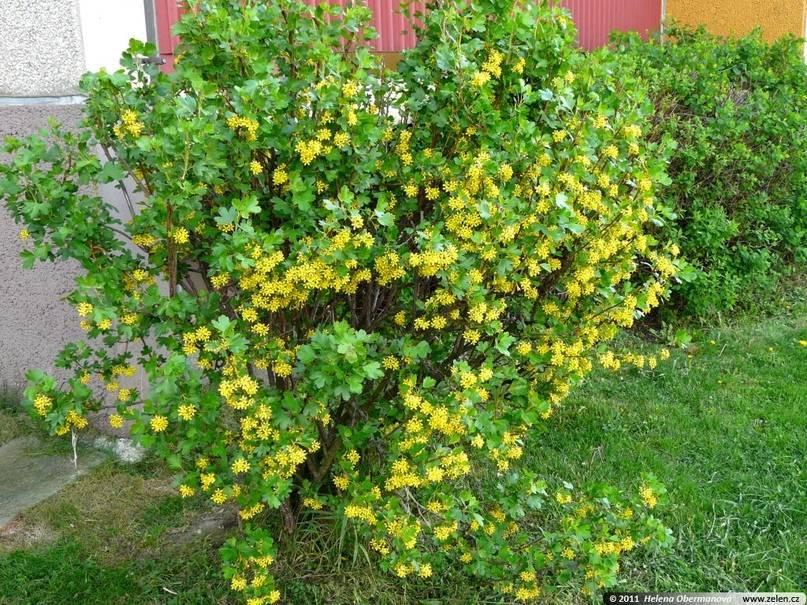 Золотистая смородина как украшение сада и источник вкусных витаминов