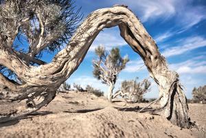Саксаул белый / древесные породы мира