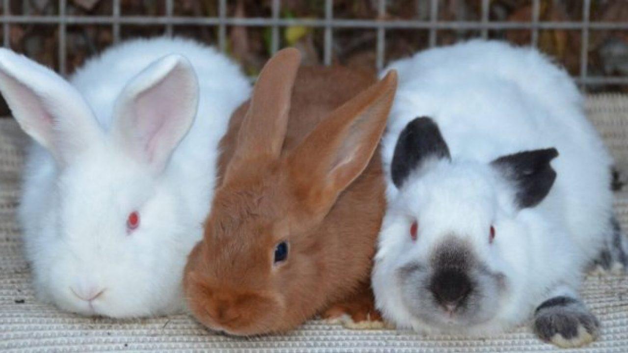 Кролик - полезные и опасные свойства кролика