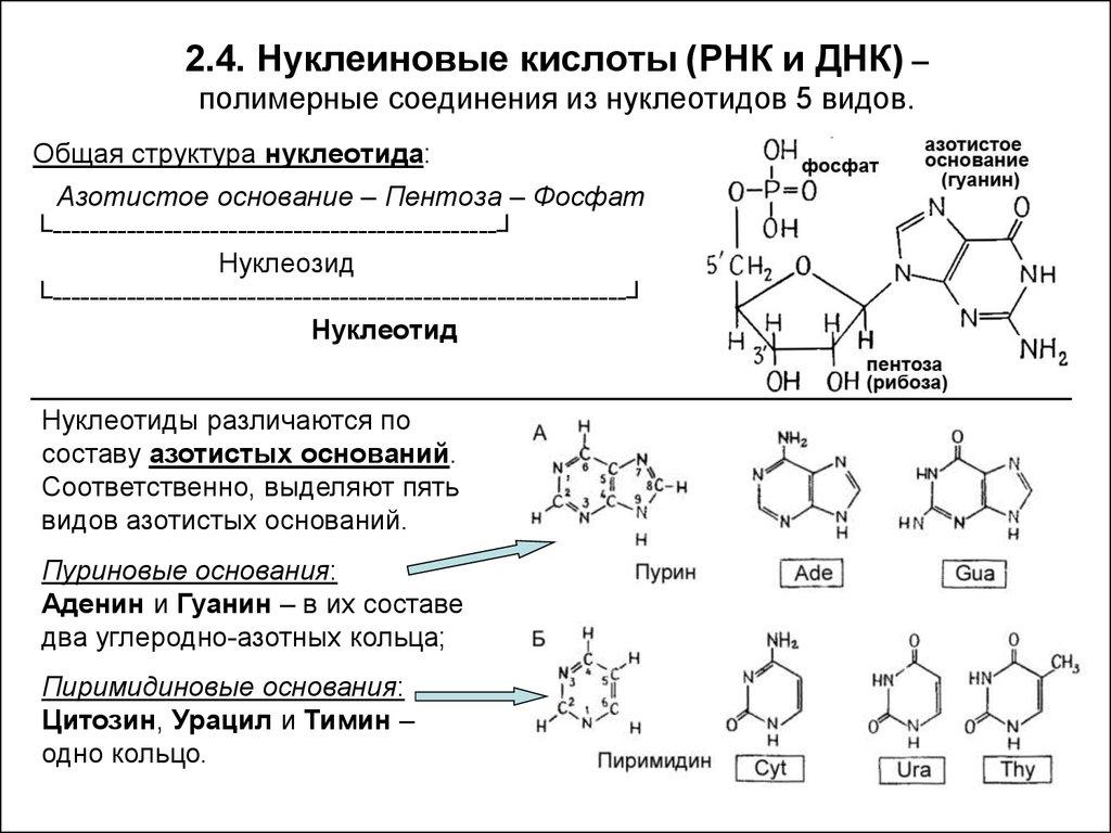 Лекция № 4. строение и функции нуклеиновых кислот атф