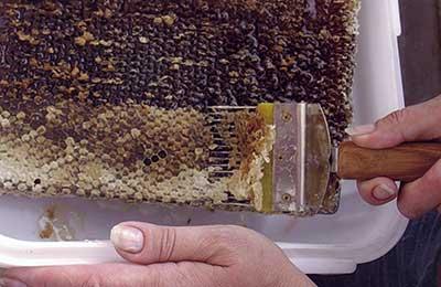 Падевый мед: польза и вред для человека, как определить в домашних условиях, какие привкусы может иметь, отличительные признаки, противопоказания