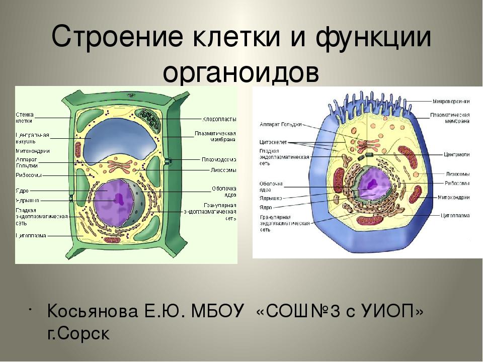 Органеллы клетки и их функции