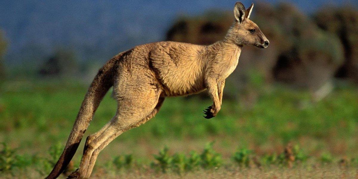 Исполинские кенгуру — википедия. что такое исполинские кенгуру