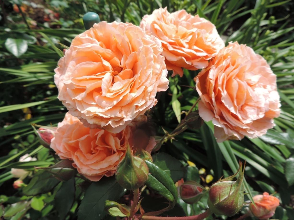 Розы-шрабы: описание, сорта, уход и выращивание