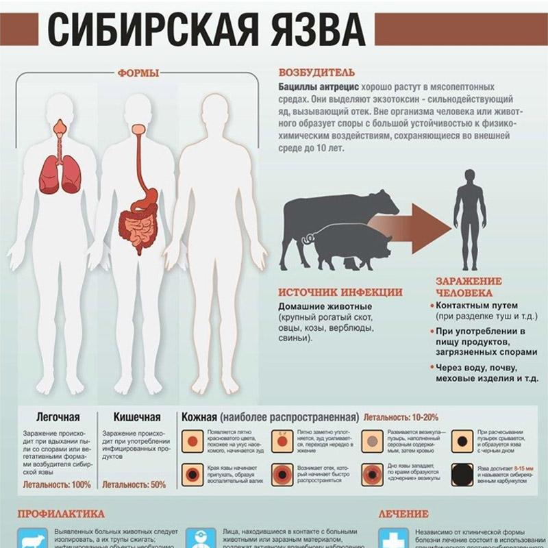 Сибирская язва у человека - симптомы, возбудитель, профилактика
