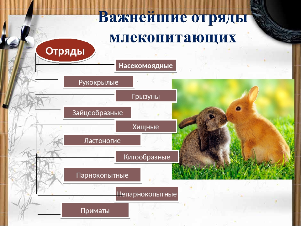 Характеристика, классификация, среда обитания, значение и охрана млекопитающих