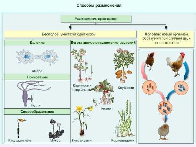 Организмы размножающиеся почкованием. что такое почкование: суть процесса, значение и примеры. способы размножения организмов