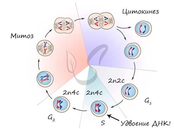 Митоз - mitosis - qwe.wiki