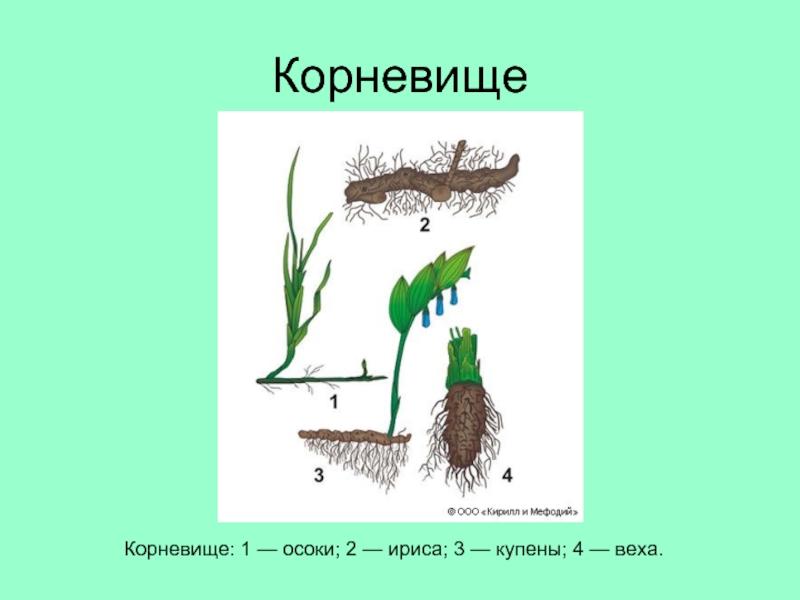 Что такое картофель: описание, особенности строения и размножения