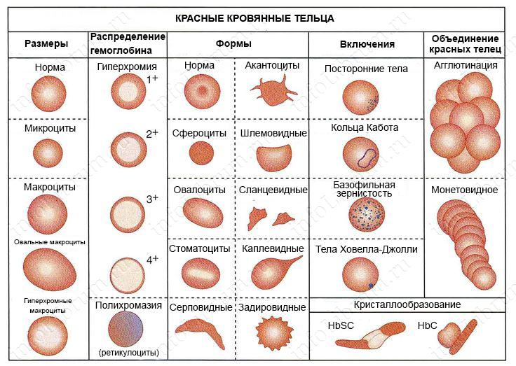 Анизоцитоз эритроцитов и тромбоцитов: что это, причины и признаки, диагностика и лечение