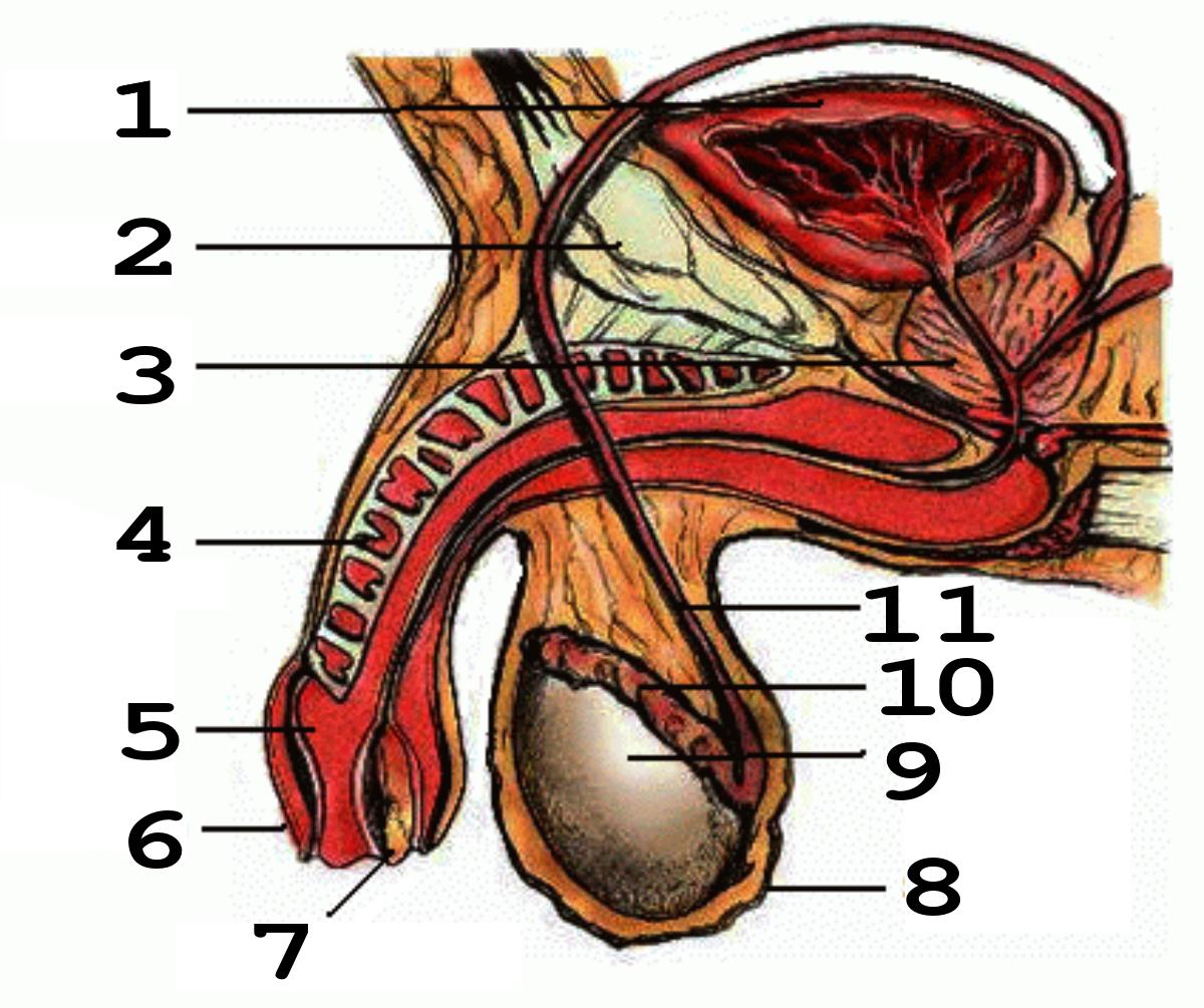 От чего зависит размер члена у мужчин: мнение сексолога, факты и вымыслы