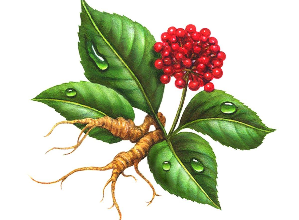 Женьшень — применение травы и корня, свойства, польза и вред