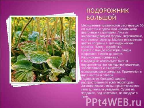 Кубышка (растение) — википедия. что такое кубышка (растение)