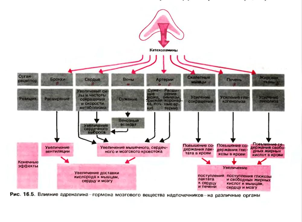 Катехоламины и их действие