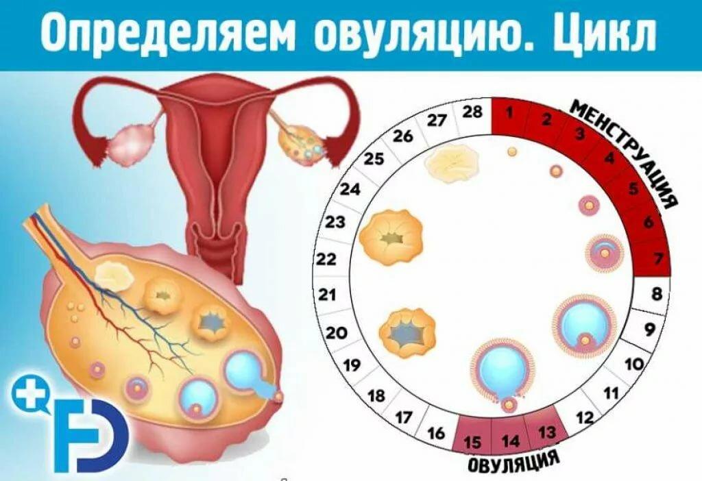 Что такое овуляция у женщин, когда она наступает, как можно определить, что она настала и какую роль она играет в зачатии ребенка