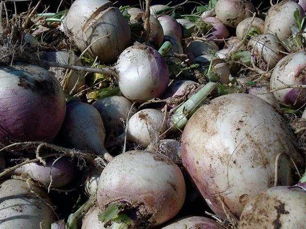 Турнепс: что это такое, как его вырастить и вкусно приготовить - огород, сад, балкон - медиаплатформа миртесен
