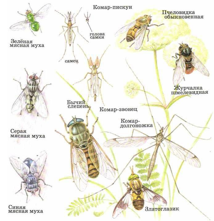 Жизнедеятельность комара звонца, опасность для человека, польза для природы