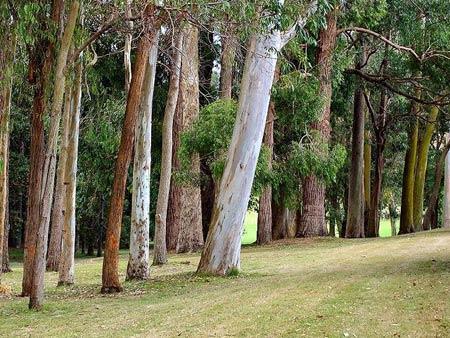 Эвкалипт — дерево: виды, как выглядит, как цветет: фото. эвкалипт – гигантское дерево: высота, где растет, как размножается, сбрасывает кору, сколько живет, где применяется, польза и вред: описание