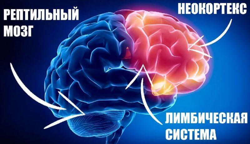 Лимбическая система и неокортекс головного мозга - строение и функции