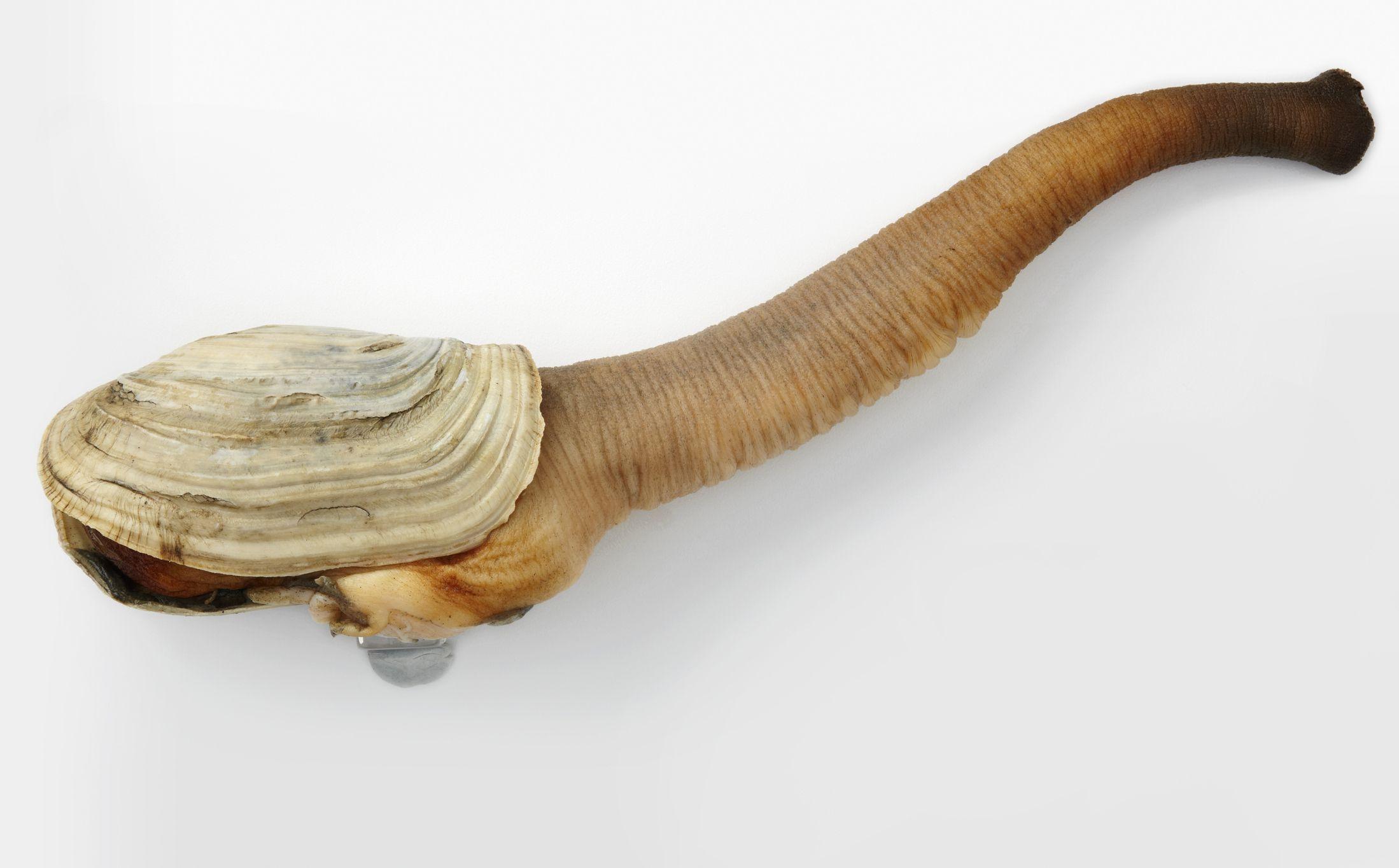 Гуидак: крайне непристойный моллюск — 4 лапки