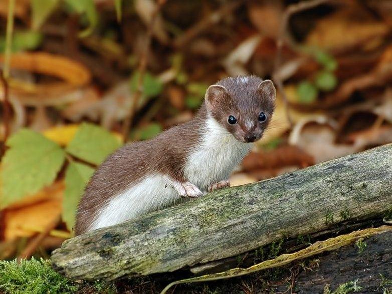 Ласка животное. образ жизни и среда обитания ласки | животный мир