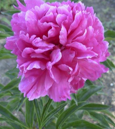 Пион — цветок двадцати дней: выращивание и уход | цветы