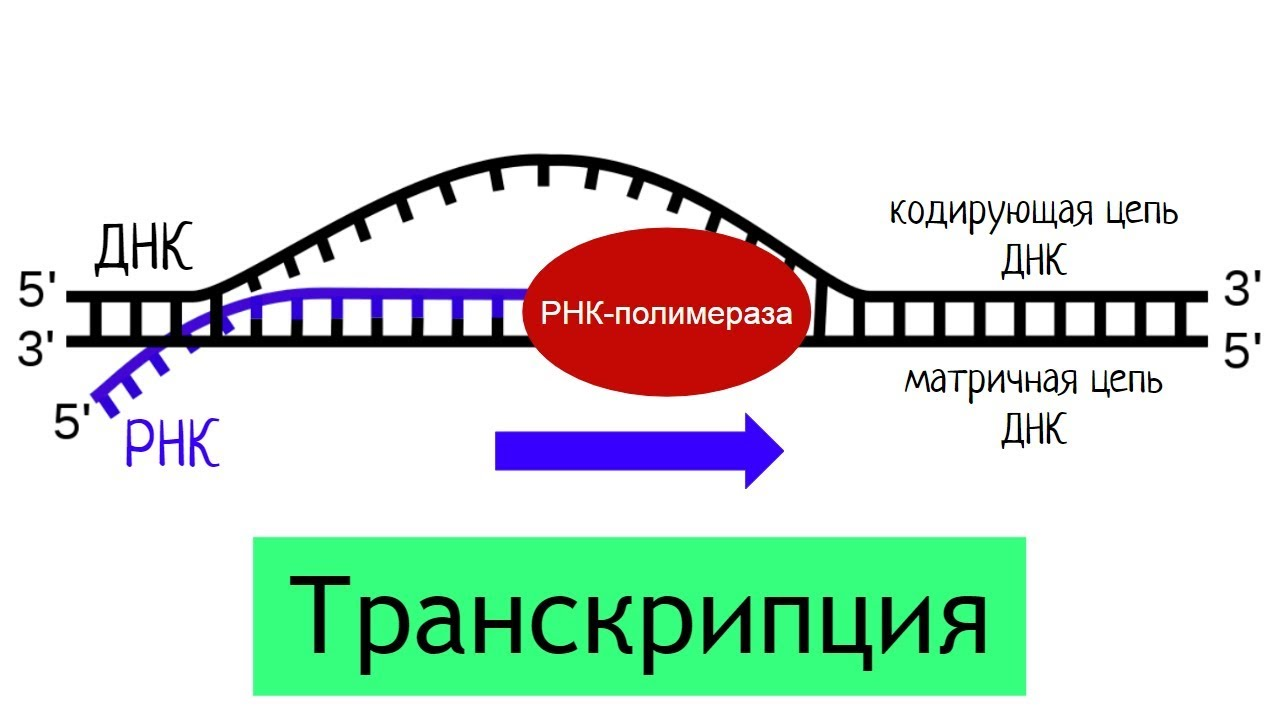 Биосинтез белка. транскрипция и трансляция