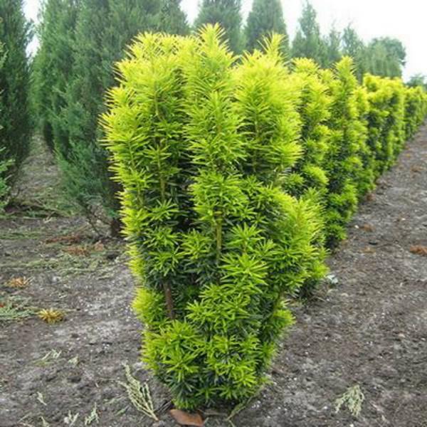Тис: выращивание зимой и осенью, фото, виды и сорта