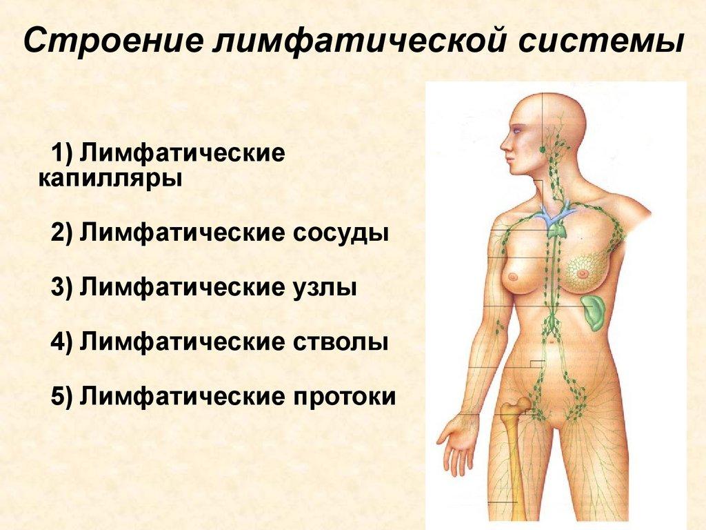 Что такое лимфа: схема движения в лимфатической системе, состав и функции