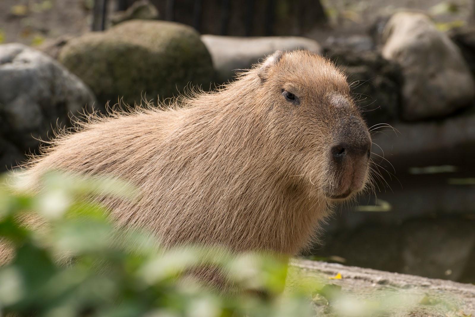 Капибара - самый крупный грызун, второе название - водосвинка. фото капибары и видео.